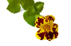 Mimulus Stock Photos