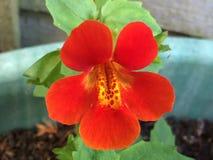 Mimulus orange Photographie stock
