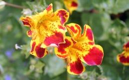Mimulus tigrinus, Tiger Monkey Flower Stock Photography