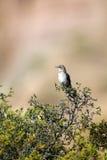 mimus mockingbird północni polyglottos zdjęcia stock