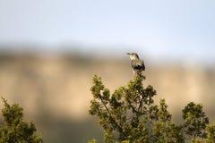 mimus mockingbird północni polyglottos Fotografia Stock