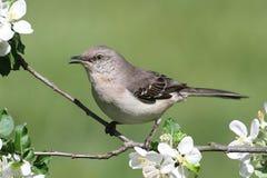 mimus mockingbird północni polyglottos Zdjęcia Royalty Free