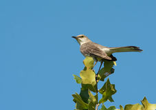 Mimus polyglottos, Northern Mockingbird perched on top of an Oak tree Royalty Free Stock Image
