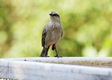 Mimus saturninus front Royalty Free Stock Photography
