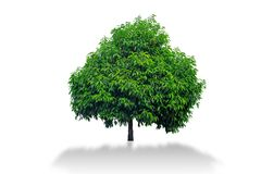 Mimusops elengi tree isolated on white background. Royalty Free Stock Images