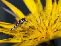 Minúsculo hoverfly Fotos de archivo
