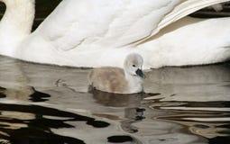 3 minúsculos cisne novo dias de idade da cisne muda que nada ao lado de sua mãe Contraste em tamanho Imagem de Stock