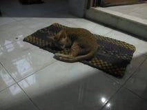 Min älskvärda Cat Sleeps på golvet arkivfoto
