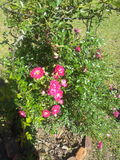 Min åriga rosa buske fruktansvärda 40 Royaltyfri Foto