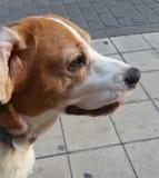Min beagle som spelar i parkera och tröttar arkivfoton