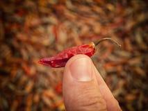 Min dyrbara chili Arkivfoto