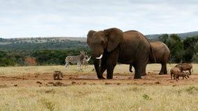 Min för vatten afrikanBush igen elefant Arkivfoto