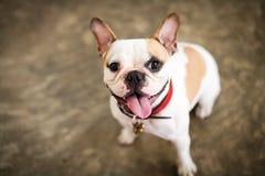 Min gulliga hund den franska bulldoggen Royaltyfria Bilder