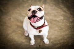 Min gulliga hund den franska bulldoggen Arkivfoto
