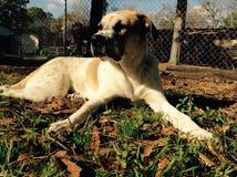 Min gulliga hundmelodi Royaltyfria Bilder