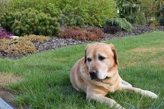 Min hund är labrador Royaltyfria Foton