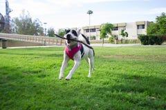 Min hund Lala hoppar och hoppar Arkivbild
