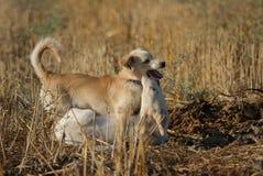 Min hundkapplöpning; Pamuk och Boncuk fotografering för bildbyråer
