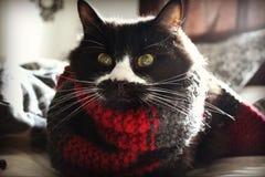 Min katt Ben som bär en halsduk Fotografering för Bildbyråer
