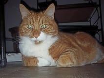 Min katt Oliver Royaltyfria Foton