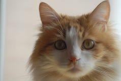 Min katt som ser mig fotografering för bildbyråer