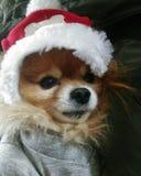 Min lilla Pomeranian Santa Claus Arkivfoto