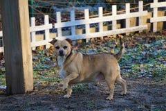 Min lilla stora hund, Tamone Arkivfoto