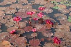 min lotusblomma Arkivbild