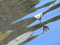 Min nationella blomma arkivfoto