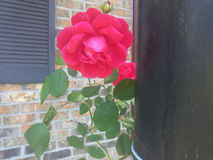 Min perfekta rosa buske Royaltyfria Foton