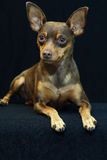 Min Pin. Posing with black background Stock Image