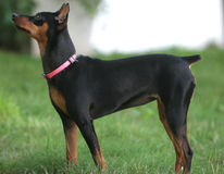 Min Pin Female. 9 month old miniature pinscher female puppy Royalty Free Stock Images
