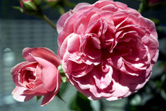 Min Rose Collection Royaltyfri Foto