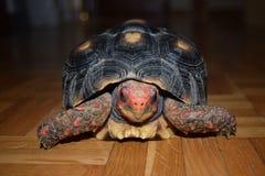 Min sköldpadda Cherry Manolita som poserar för ett stort foto som visar dess färger Arkivfoto