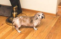 Mina der alte weiner Hund Lizenzfreies Stockfoto