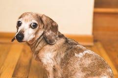 Mina der alte weiner Hund Lizenzfreies Stockbild