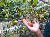 Mina jordgubbevänner fotografering för bildbyråer