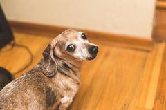Mina o cão velho do weiner Fotos de Stock Royalty Free