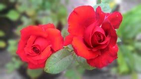 Mina röda rosor Arkivbild
