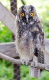 Mina små behandla som ett barn OWL Pet! Arkivbilder