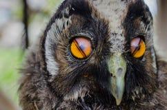 Mina små behandla som ett barn OWL Pet! Arkivfoto