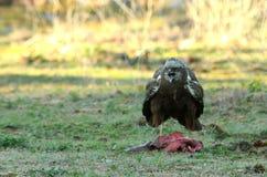 Minaccia dell'aquila di predatore dalla terra Fotografie Stock Libere da Diritti