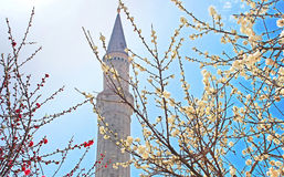 MInaret of the Hagia Sophia and blooming trees, Istanbul Royalty Free Stock Photography