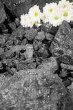 Minatore del fondo delle margherite bianche del carbone Fotografie Stock Libere da Diritti