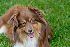 Minature Australian Shepherd Royalty Free Stock Photos