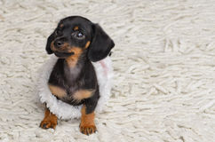 Minature dachshund Stock Image