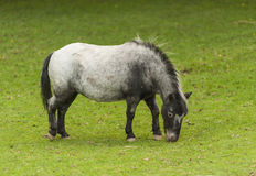 Minature Horse Stock Image