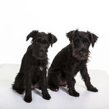 Minature Schnauzer Puppies Stock Image
