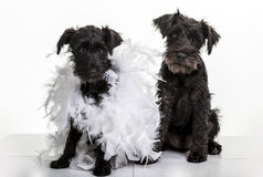 Minature Schnauzer Puppies Royalty Free Stock Image
