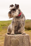 Minature schnauzer sitting on a trig point. Miature schnauzer sitting on a trig point on a hill walk.  Red and white collar, perked up ears, bright eyes and Stock Photos